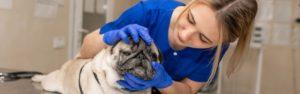Conoce el auxiliar de veterinaria y descubre sus funciones