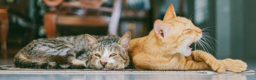 Descubre la esterilización en gatos y sus ventajas y desventajas